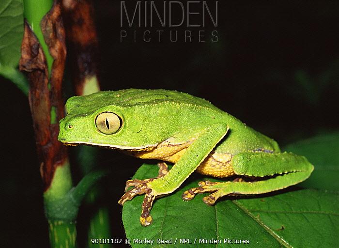 Tree frog (Phyllomedusa vaillanti) Amazonian Ecuador, South America  -  Morley Read/ npl