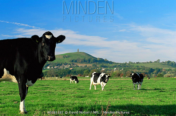 Cattle grazing on Somerset levels, nr Glastonbury, UK  -  David Noton/ npl