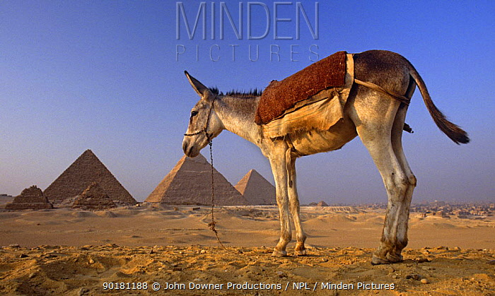 Domestic donkey (Equus asinus) with ancient pyramids of Giza in background, Egypt  -  John Downer/ npl