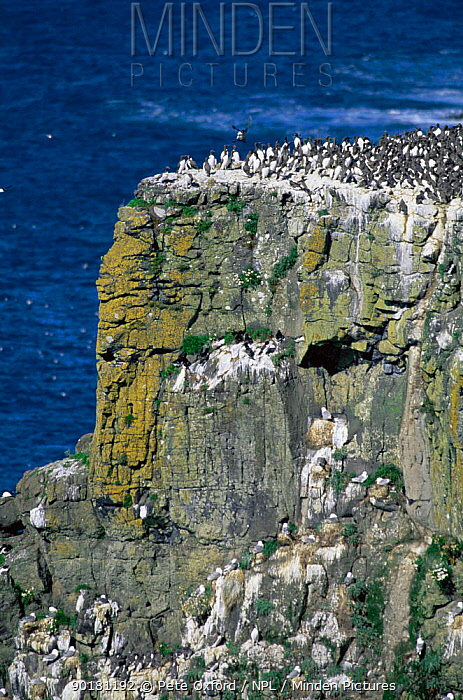 Guillemots and gulls nesting on cliffs, Rathlin Island, Northern Ireland  -  Pete Oxford/ npl