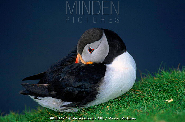 Puffin with head tucked in wing, Fair Isle, Scotland  -  Pete Oxford/ npl