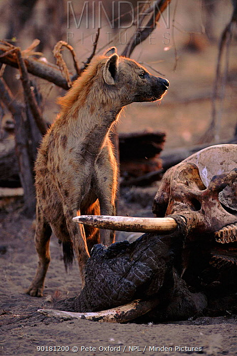 Spotted hyaena at elephant carcass, Botswana, Africa  -  Pete Oxford/ npl
