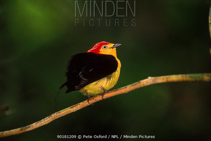 Wire tailed manakin (Teleonema filicauda) displaying Yasuni NP, Amazon, Ecuador, South America  -  Pete Oxford/ npl