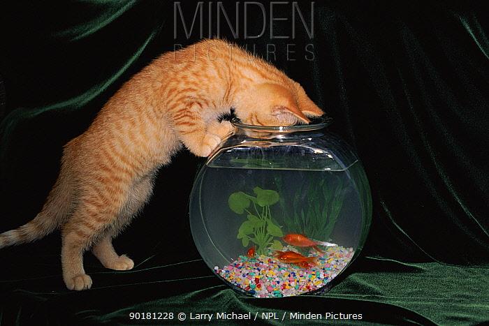 Domestic cat investigating goldfish bowl, USA  -  Larry Michael/ npl