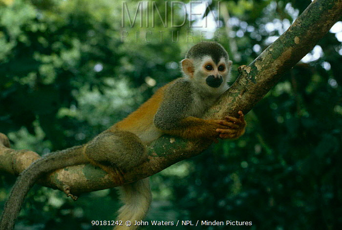 Red backed squirrel monkey (Saimiri oerstedii) in canopy, Costa Rica  -  John Waters/ npl