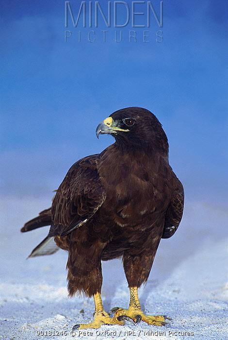 Galapagos hawk (Buteo galapagoensis) Espanola, Hood Is, Galapagos Islands, Ecuador  -  Pete Oxford/ npl