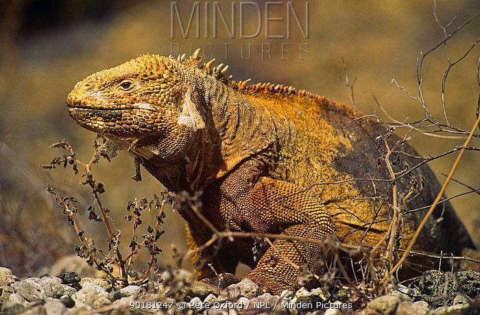 Galapagos land iguana (Conolophus subcristatus) Isabela Island, Galapagos Islands  -  Pete Oxford/ npl