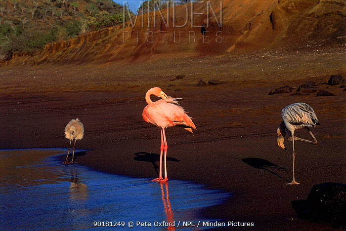 Greater flamingo adult juvenile and chick (Phoenicopterus ruber) Floreana Island, Galapagos Is Book page 22  -  Pete Oxford/ npl
