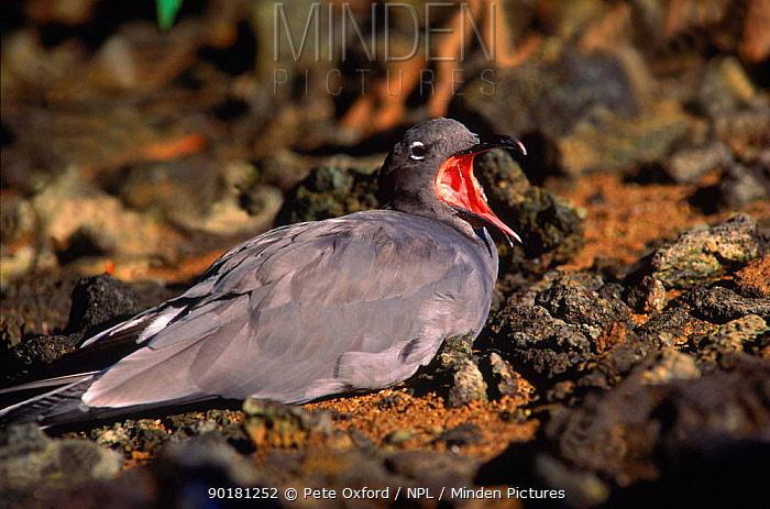 Dusky gull (Larus fuliginosus) calling, Tower (Genovesa) Is, Galapagos Islands, Ecuador Book page 79  -  Pete Oxford/ npl