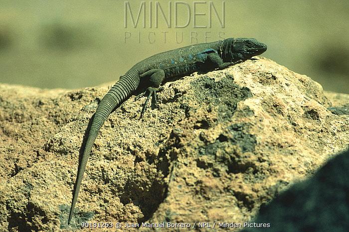 Lizard profile (Galliota galloti) Tenerife, Canary Islands  -  Juan Manuel Borrero/ npl