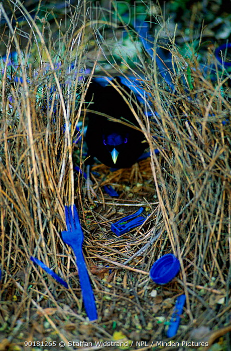 Satin bowerbird male at bower decorated with blue objects to attract mate, Lamington NP  -  Staffan Widstrand/ npl