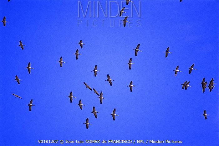 Common cranes (Grus grus) flying on migration Spain  -  Jose Luis Gomez De Francisco/ np