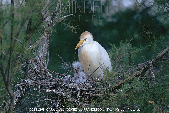 Cattle egret on nest with chick (Bubulcus ibis) Navarra, Spain  -  Jose Luis Gomez De Francisco/ np