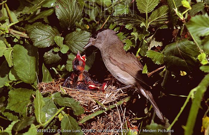 Blackcap male at nest (Sylvia atricapilla) chicks begging for food, Spain  -  Jose Luis Gomez De Francisco/ np