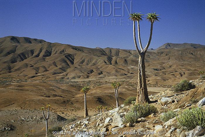 Desert landscape with Aloe pillansii trees, Richtersveld, South Africa  -  Neil Nightingale/ npl