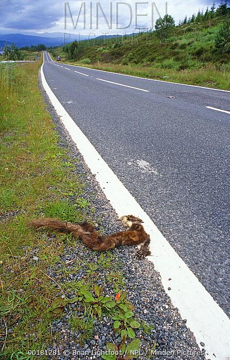 Pine marten roadkill (Martes martes) Ross, Scotland, UK  -  Brian Lightfoot/ npl