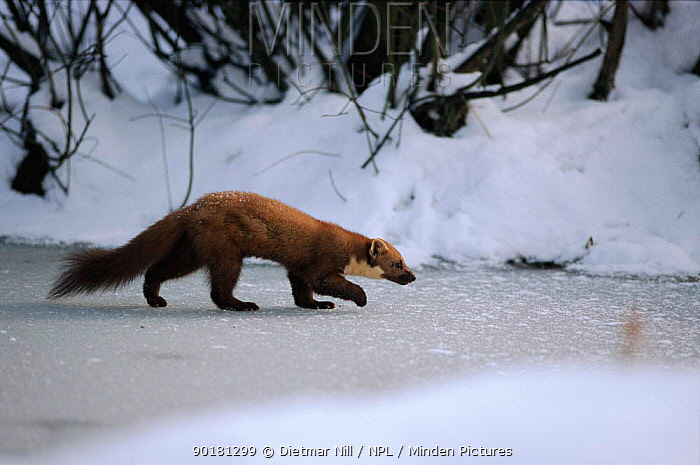 Pine marten walking on frozen river, Germany  -  Dietmar Nill/ npl