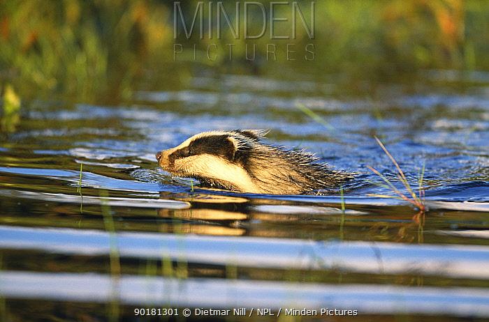 Badger (Meles meles) swimming, Germany  -  Dietmar Nill/ npl