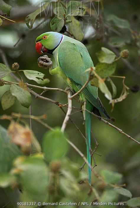 Rose ringed parakeet male feeding in tree (Psittacula krameri) Keoladeo NP, Rajasthan, India  -  Bernard Castelein/ npl