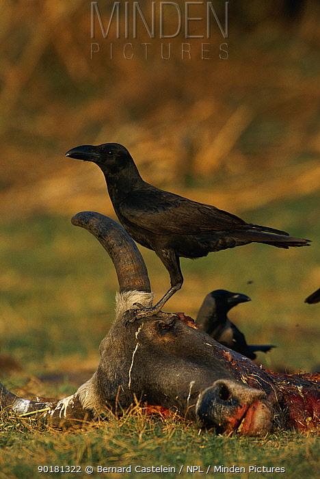 Jungle crow scavenging dead cow (Corvus macrorhynchos) Keoladeo Ghana, Bharatpur NP, Rajasthan, India  -  Bernard Castelein/ npl