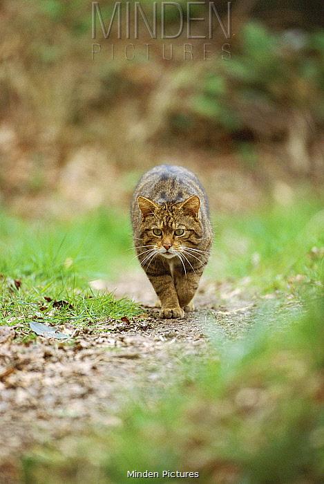 Wild cat walking to camera (Felis silvestris)  -  Andrew Harrington/ npl