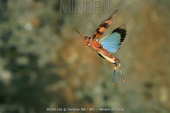 Blue winged grasshopper flying (Oedipoda caerulescens) Sardinia Grasshoppers are capable of a mighty 1m long jump, the human equivalent of a football pitch in a single bound They would win a gold medal in an animal olympics competition  -  Dietmar Nill/ npl