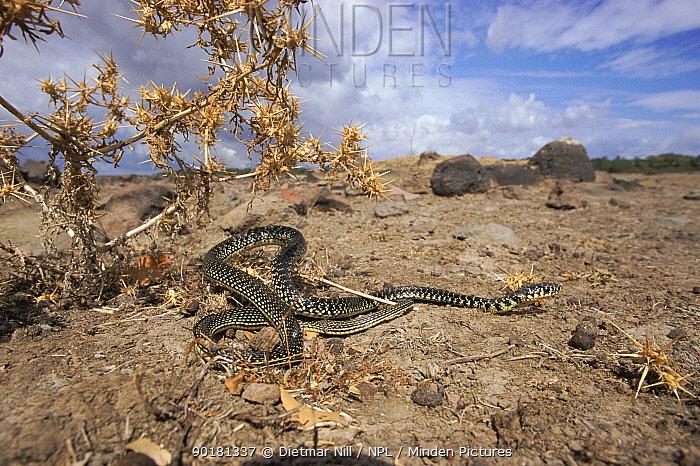 Western whipsnake (Coluber viridiflavus) Sardinia  -  Dietmar Nill/ npl
