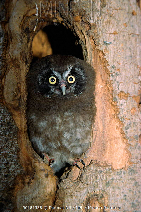 Tengmalm's owl juvenile at nest entrance (Aegolius funereus) Germany  -  Dietmar Nill/ npl