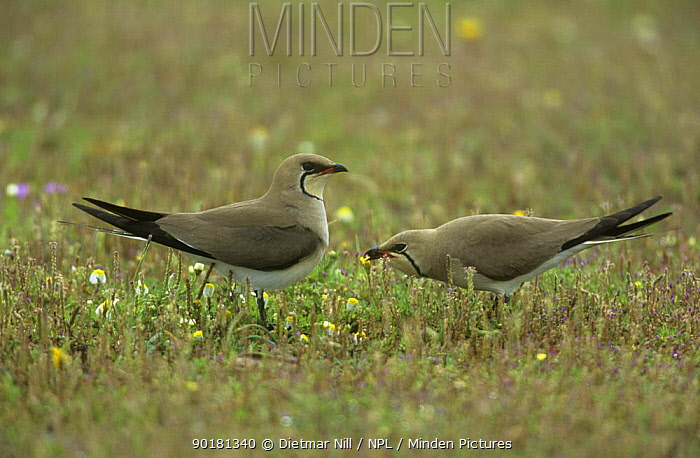 Collared pratincole (Glareola pratincola) pair in mating display, Extremadura, Spain  -  Dietmar Nill/ npl