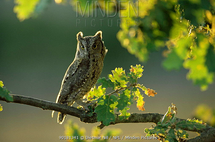 Scops owl perched in oak tree (Otus scops) Extremadura, Spain  -  Dietmar Nill/ npl