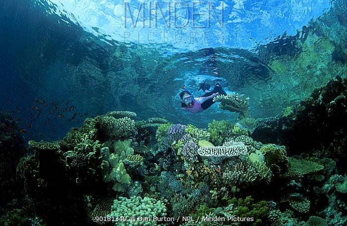 Snorkeler over coral reef Sharm el Sheik Red Sea Egypt  -  Dan Burton/ npl