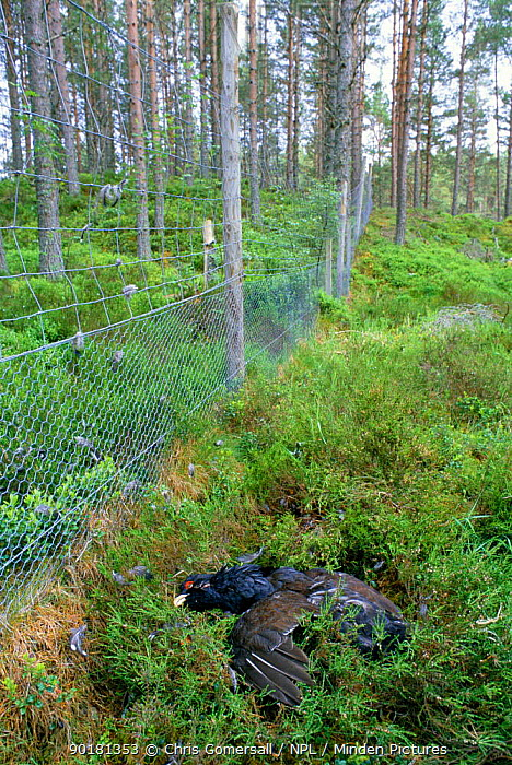 Capercaillie killed after colliding with deer fence (Tetrao urogallus) Scotland, UK  -  Chris Gomersall/ npl