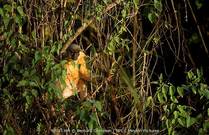 Capped langur (Presbytis pileata) Manas NP Assam India  -  Bernard Castelein/ npl
