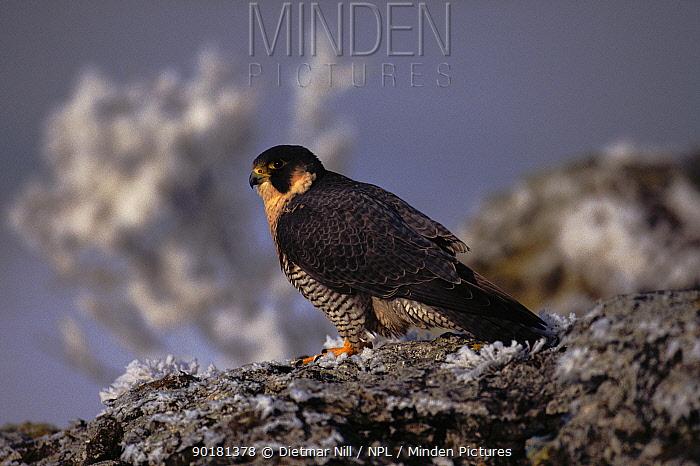 Peregrine falcon (Falco peregrinus) on frosty ground Germany, Europe  -  Dietmar Nill/ npl