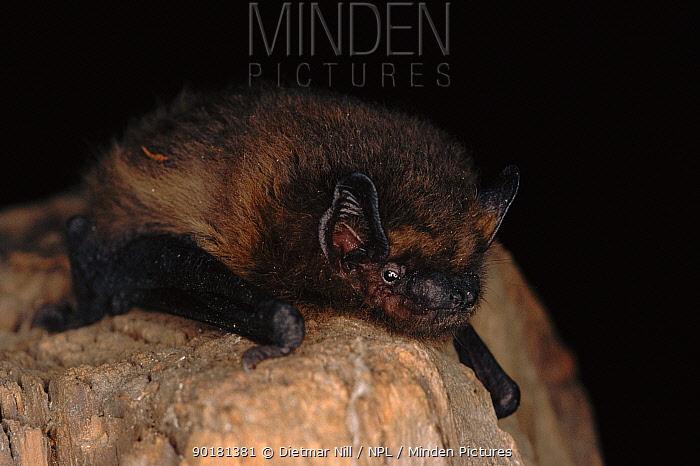 Common pipistrelle bat (Pipistrellus pipistrellus) Germany, Europe  -  Dietmar Nill/ npl