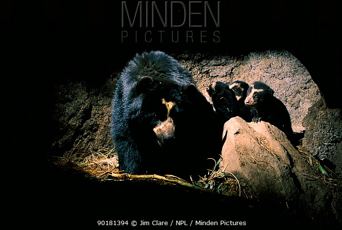 Spectacled bear with cubs in den (Tremarctos ornatus) Andes, Ecuador  -  Jim Clare/ npl
