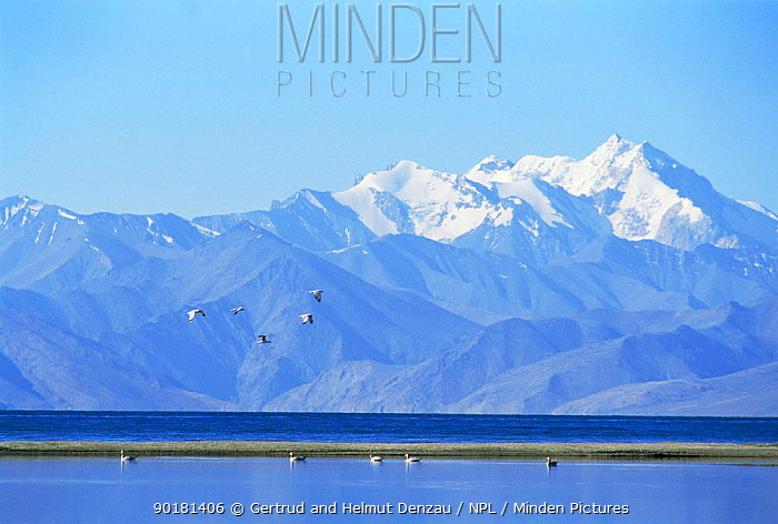 Barheaded geese (Anser indicus) fly over water with Himalayas behind, Ladakh, North East India  -  Gertrud & Helmut Denzau/ npl