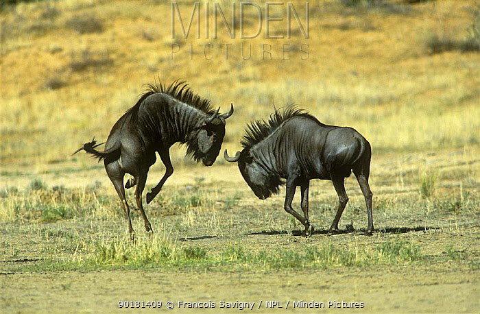 Wildebeest (Connochaetes taurinus) dominant male displaying to another male, Kalahari Gemsbok, Kgalagadi Transfrontier NP, South Africa  -  Francois Savigny/ npl