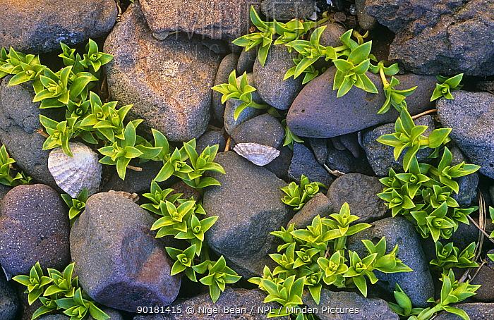 Sea purslane on rocky beach (Honkenya pepliodes) Montrose, Scotland, UK  -  Nigel Bean/ npl