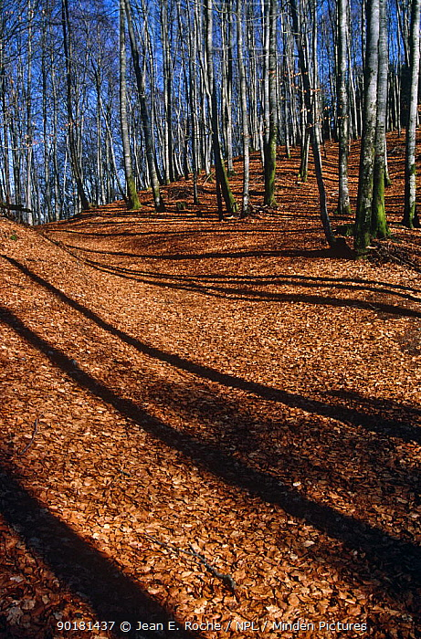Young European beech(Fagus sylvatica) trees casting shadows on fallen leaves in winter, Vosges, France  -  Jean E. Roche/ npl