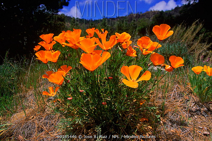 California poppies in flower (Eschscholzia californica) Tenerife, Canary islands  -  Jose B. Ruiz/ npl