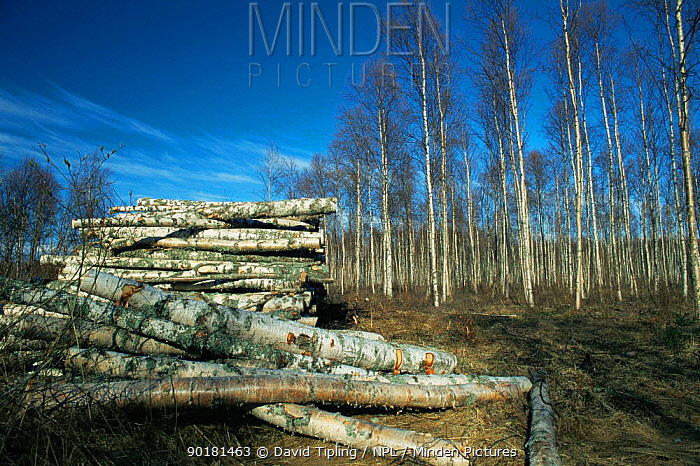 Silver birch tree trunks stacked up, forestry logging activity in Northern Finland  -  David Tipling/ npl