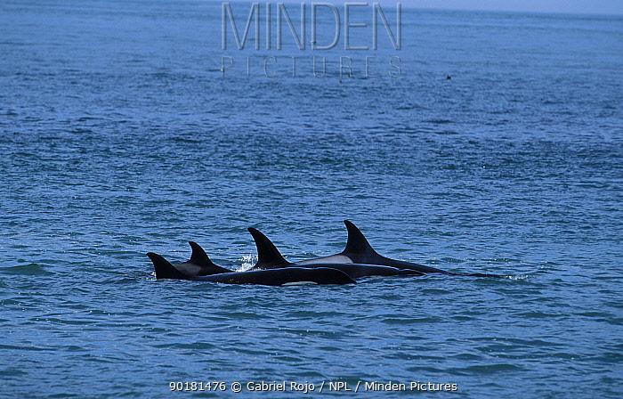 Killer whale pod (Orcinus orca) Valdez, Patagonia, Argentina Punta Norte  -  Gabriel Rojo/ npl