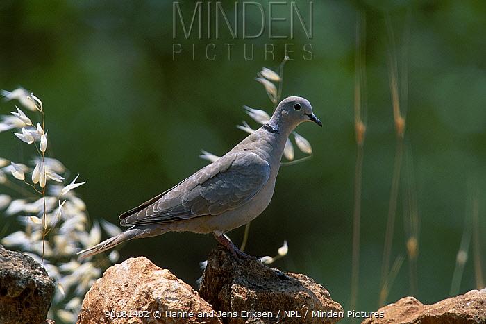 Collared dove (Streptopelia decaocto) Berecik Turkey  -  Hanne & Jens Eriksen/ npl