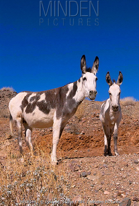 Wild burro (Equus asinus) Arizona, Nevada USA  -  Lynn M. Stone/ npl