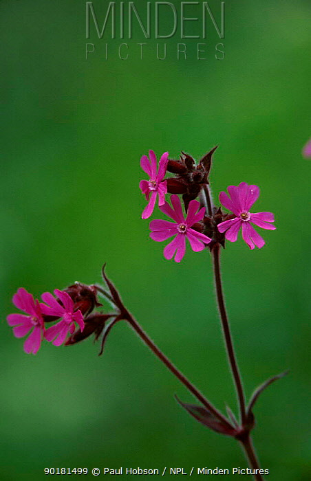 Red campion flowers (Silene dioica) Derbyshire UK  -  Paul Hobson/ npl