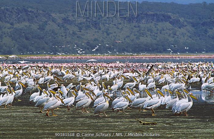 Flock of Eastern white pelicans (Pelecanus onocrotalus) Lake Nakuru NP Kenya  -  Carine Schrurs/ npl