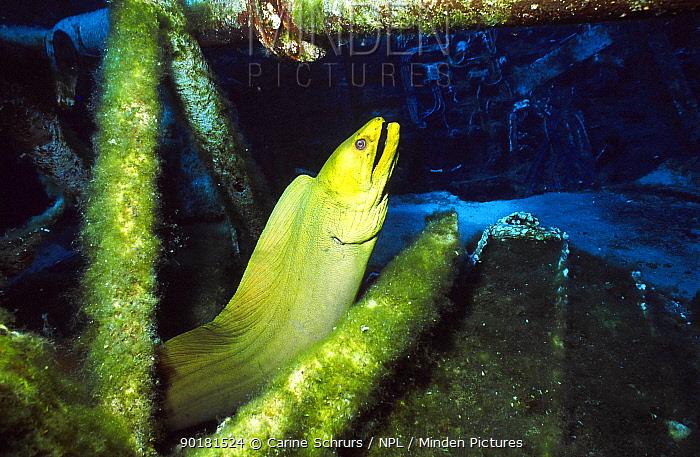 Green moray eel (Gymnothorax funebris) on ship wreck Cayman brac BWI Caribbean russian  -  Carine Schrurs/ npl