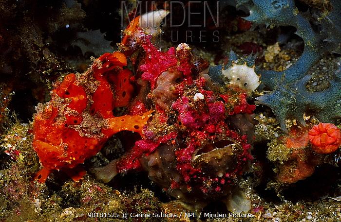 Warty frogfish pair mating (Antennarius maculatus) larger fish is female Anilao  -  Carine Schrurs/ npl