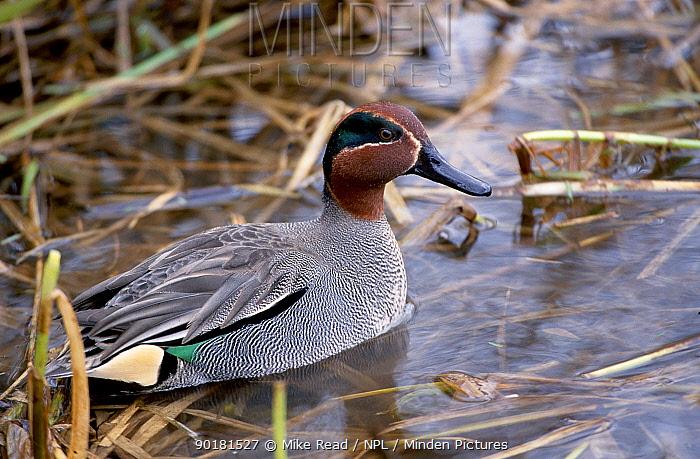Common teal (Anas crecca) Avon Hampshire UK  -  Mike Read/ npl
